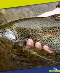 FEATHER WEIGHT & INSTINCT TROUT